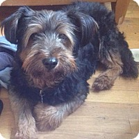 Adopt A Pet :: Cha Cha - Wappingers, NY