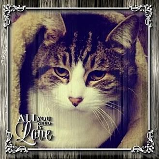 Domestic Shorthair Cat for adoption in New City, New York - Jonas