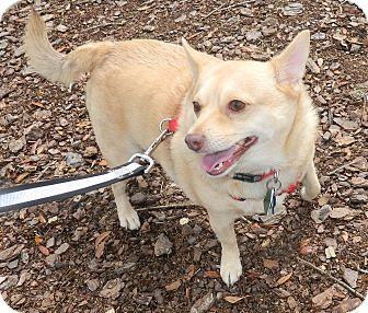 Chihuahua/Pomeranian Mix Dog for adoption in Umatilla, Florida - Foxy