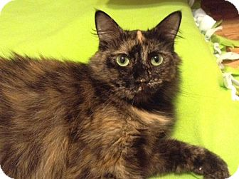 Maine Coon Cat for adoption in Houston, Texas - Audrey