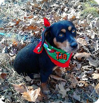 Beagle/Dachshund Mix Dog for adoption in Princeton, Kentucky - Tia
