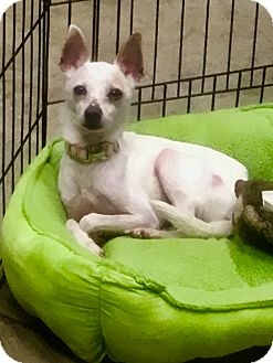 Chihuahua Mix Dog for adoption in Nashville, Tennessee - Sunshine