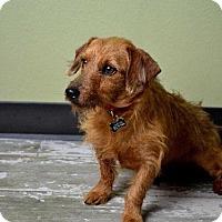 Dachshund Mix Dog for adoption in Dallas, Texas - Giddy