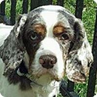 Adopt A Pet :: Bentley - Newington, VA