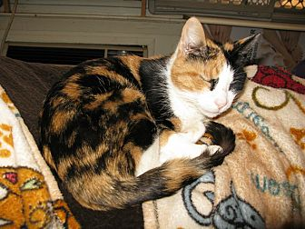 Calico Cat for adoption in Hamilton, New Jersey - PATTIE
