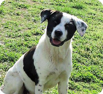 St. Bernard/Anatolian Shepherd Mix Dog for adoption in Conway, New Hampshire - Susie