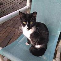 Adopt A Pet :: Peter Rabbit- The Cat! *LowFee - New Smyrna Beach, FL