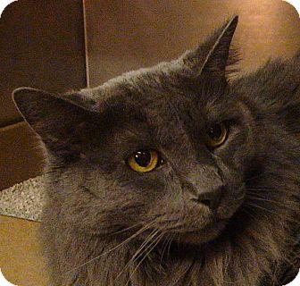 Domestic Longhair Cat for adoption in El Cajon, California - Amelia
