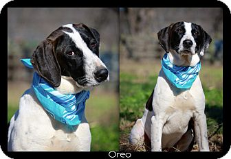 Hound (Unknown Type)/Labrador Retriever Mix Dog for adoption in Wilmington, Delaware - OREO