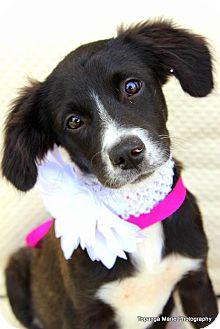 Labrador Retriever/Terrier (Unknown Type, Medium) Mix Puppy for adoption in Boynton Beach, Florida - Stella