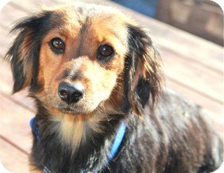 Dachshund Mix Dog for adoption in Norwalk, Connecticut - Meadow - adoption pending