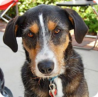 Airedale Terrier/Terrier (Unknown Type, Medium) Mix Dog for adoption in Baton Rouge, Louisiana - Cowgirl