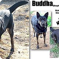 Adopt A Pet :: Buddha - Battle Creek, MI