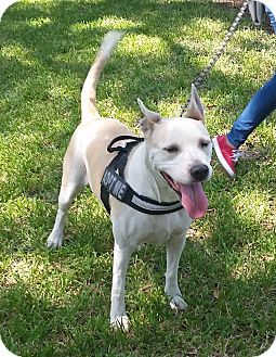 Cattle Dog Mix Dog for adoption in Houston, Texas - Abby