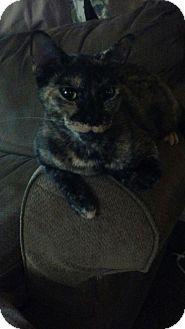 Domestic Shorthair Cat for adoption in Ocala, Florida - izzy