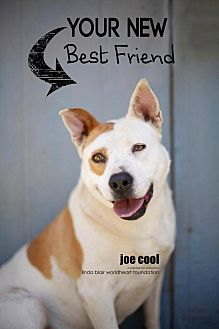Border Collie/Cattle Dog Mix Dog for adoption in Toluca Lake, California - Joe Cool
