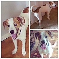 Pointer Mix Dog for adoption in Tallahassee, Florida - Remington