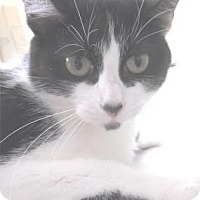 Domestic Shorthair Cat for adoption in Waupaca, Wisconsin - Meadow