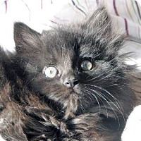 Adopt A Pet :: Fluffer Nutter - Davis, CA