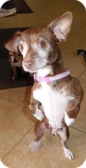 Chihuahua Mix Dog for adoption in San Diego, California - RaeAnn