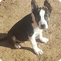 Adopt A Pet :: Hugo - Las Cruces, NM
