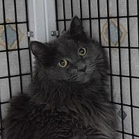 Domestic Longhair Cat for adoption in Denver, Colorado - Nouri