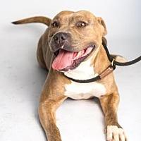 Adopt A Pet :: Rox - Santa Paula, CA