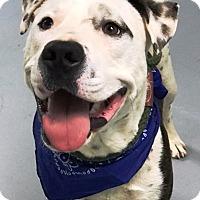 Adopt A Pet :: Murphy - Casa Grande, AZ