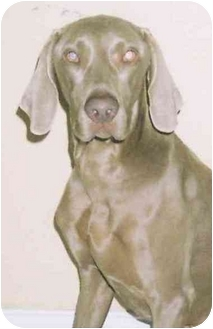 Weimaraner Dog for adoption in Eustis, Florida - Austin  **ADOPTED**