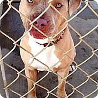 Pit Bull Terrier/Terrier (Unknown Type, Medium) Mix Dog for adoption in Fowler, California - Froggy