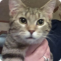 Adopt A Pet :: Whiskers - St. Louis, MO