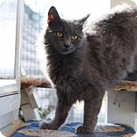 Domestic Longhair Cat for adoption in Lemoore, California - Maggie