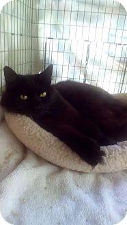 Domestic Mediumhair Cat for adoption in Alamo, California - Sweet Pea