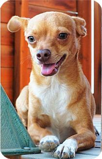 Chihuahua Mix Dog for adoption in Corona, California - SCOOBY