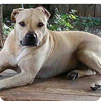 Boxer Mix Dog for adoption in San Antonio, Texas - LEYLA