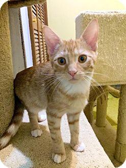 Domestic Shorthair Kitten for adoption in Charlotte, North Carolina - A..  Alex