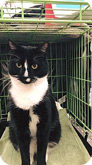 Domestic Shorthair Cat for adoption in N. Billerica, Massachusetts - Coltrane