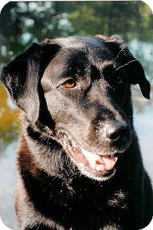 Labrador Retriever Dog for adoption in Fairfax, Virginia - Jett