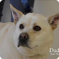 German Shepherd Dog/Labrador Retriever Mix Dog for adoption in Osage Beach, Missouri - Dudley
