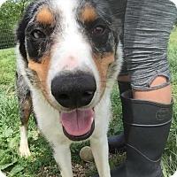Adopt A Pet :: Sassy - Foristell, MO
