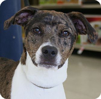 Fox Terrier (Smooth)/Catahoula Leopard Dog Mix Dog for adoption in North Olmsted, Ohio - Iggy