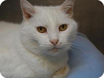 Domestic Shorthair Cat for adoption in Miami, Florida - Duchess