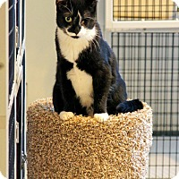 Adopt A Pet :: Tuxedo - Victor, NY