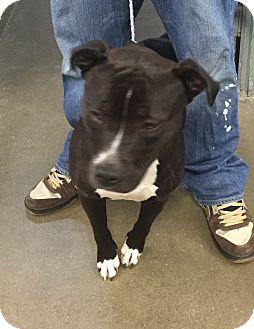 Pit Bull Terrier Mix Dog for adoption in Middletown, New York - Delilah