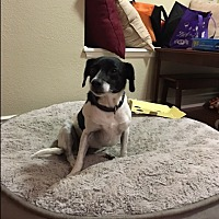 Chihuahua Mix Dog for adoption in Monrovia, California - Sugar