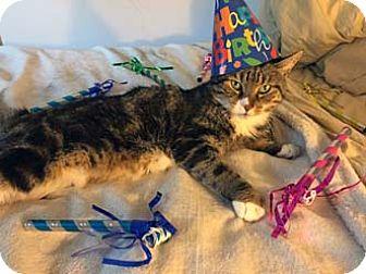 Domestic Shorthair Cat for adoption in Merrifield, Virginia - Olivia