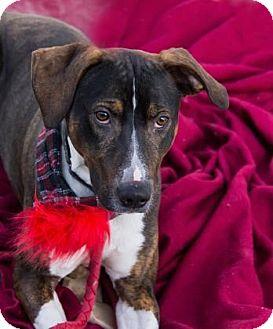 Catahoula Leopard Dog Mix Dog for adoption in Lowell, Massachusetts - Gunner