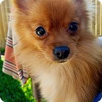 Adopt A Pet :: Chimes - conroe, TX