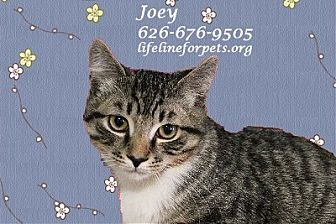 Domestic Shorthair Cat for adoption in Monrovia, California - A Young Male: JOEY