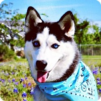 Adopt A Pet :: Amelie - Sugar Land, TX